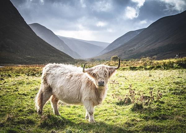 Highland Cow in Scottish Glen